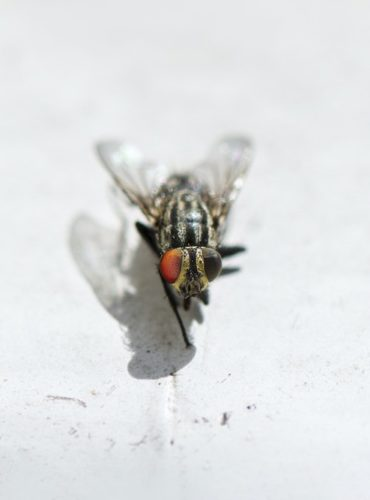 Fumigacion contra moscas