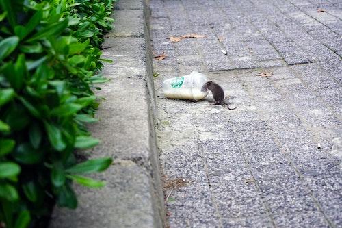 Ratas urbanas - Control de plagas